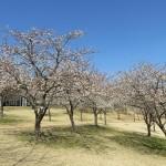 種子島で「暖流桜」が見ごろ