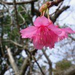 沖縄・末吉公園【桜標本木】