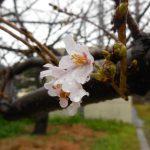 鹿児島・鹿児島地方気象台【桜標本木】