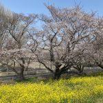 埼玉・熊谷桜堤【桜標本木】
