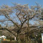 京都・二条城【桜標本木】