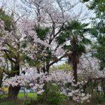 静岡・静岡地方気象台【桜標本木】