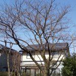 富山・富山地方気象台【桜標本木】